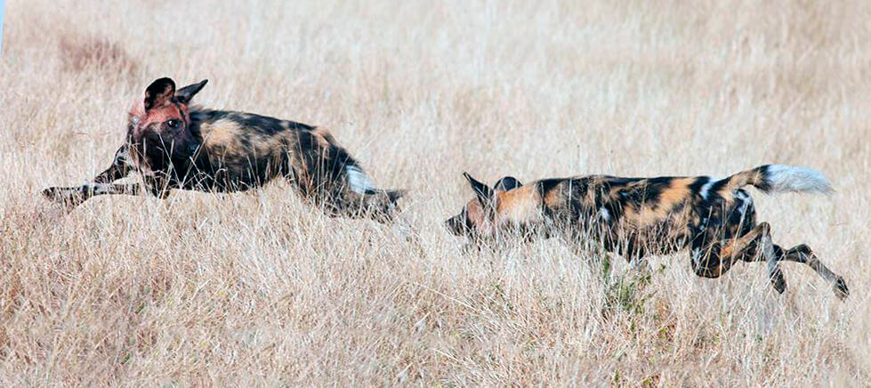 Охота гиеновидных собак
