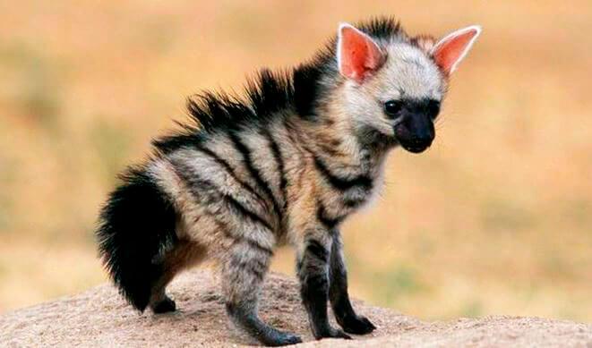 Детёныш земляного волка