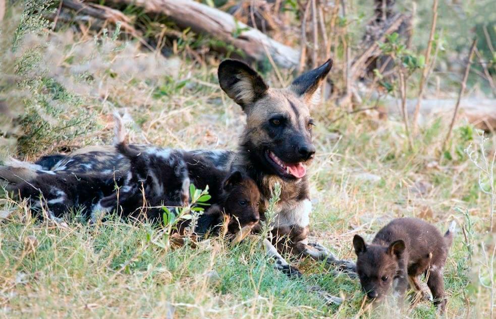 Самка гиеновидной собаки со щенком