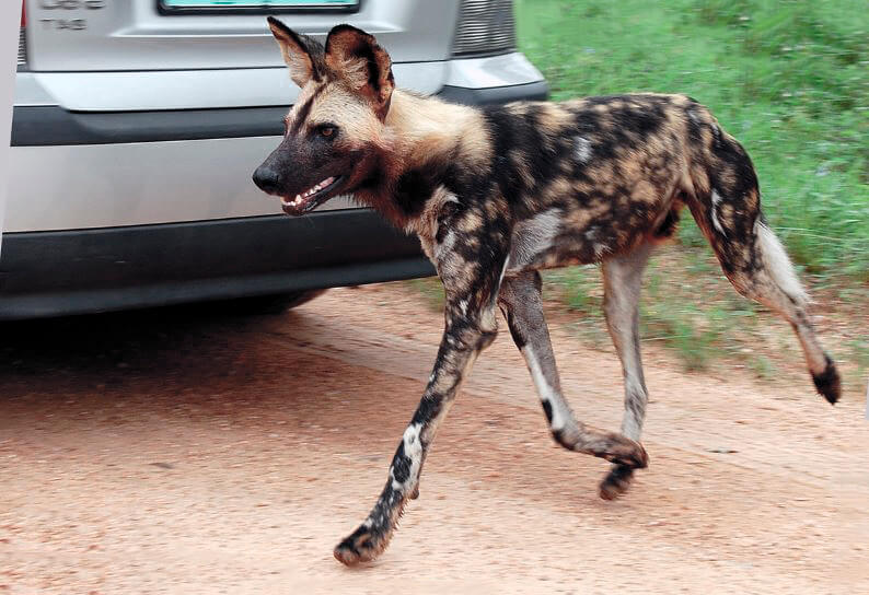 Гиеновидная собака фото
