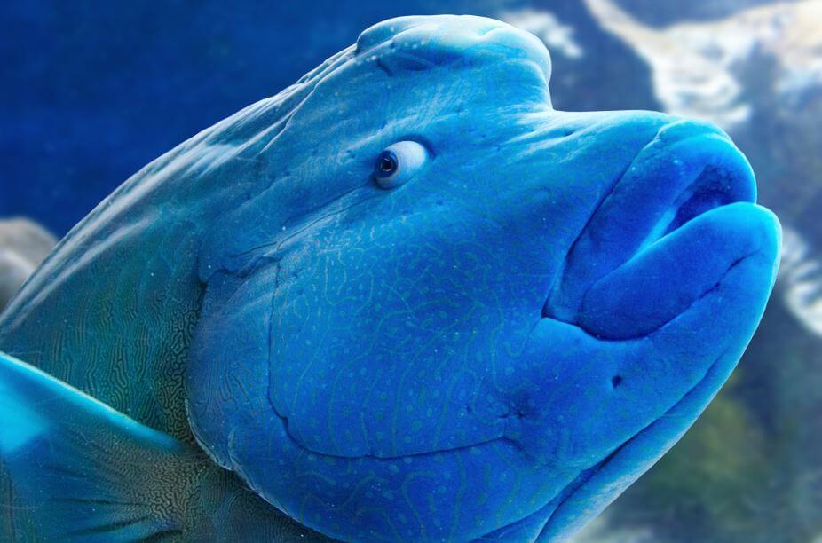 Голова рыбы-наполеона
