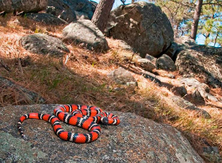 Картинка со спящей калифорнийской королевской змеёй