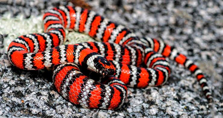 Калифорнийская королевская змея фото