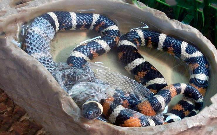 Водоём с калифорнийской королевской змеёй