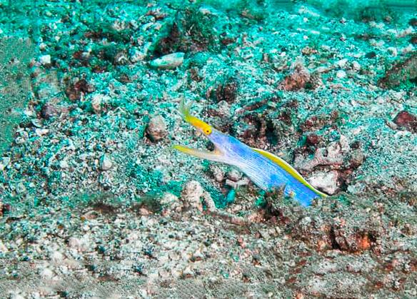 Коралловый риф с ленточной муреной