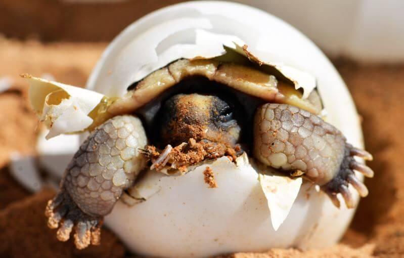 Вылупление египетской черепахи