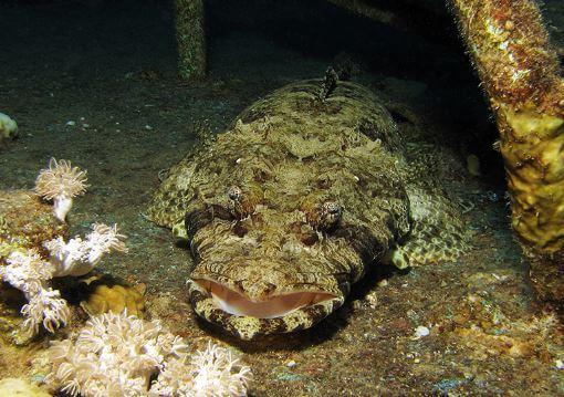 ryba krokodil v ubezhishhe Рыба крокодил