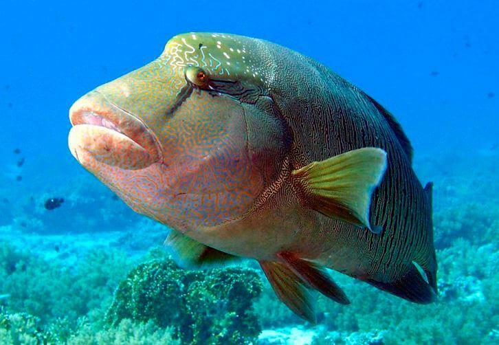 ryba napoleon Рыба наполеон