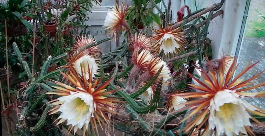 Селеницереус крупноцветковый с цветами