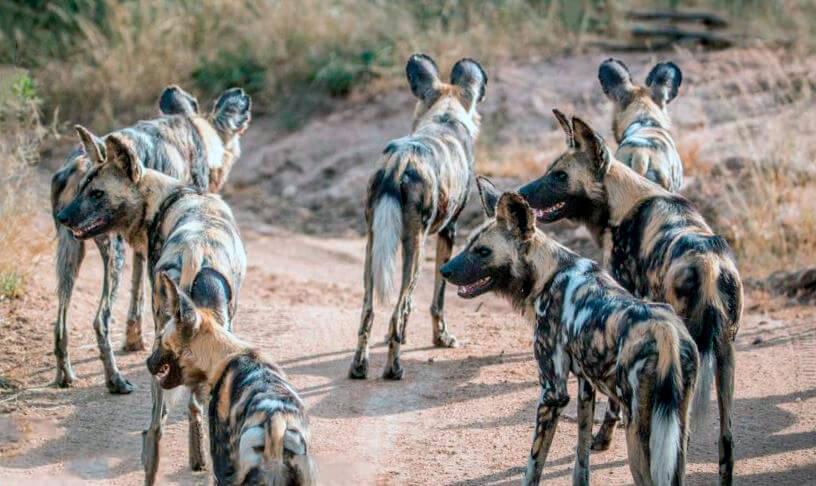 Стая гиеновидных собак