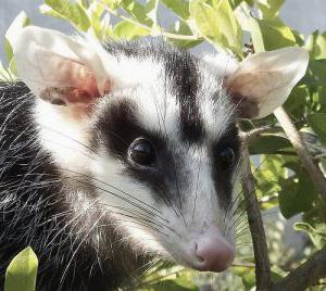 Belobryuhij opossum Белобрюхий опоссум