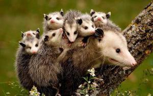 Самка белобрюхого опоссума с детёнышами фото