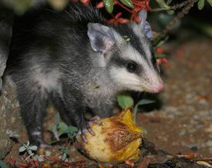 Belobryuhij opossum6 1 300x238 1 Белобрюхий опоссум