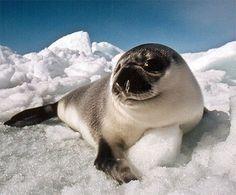 Полосатый тюлень фото