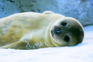 Детёныш тюленя фото