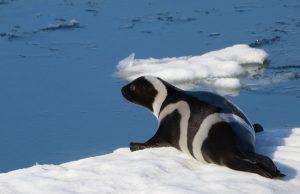 Полосатый тюлень на леднике фото