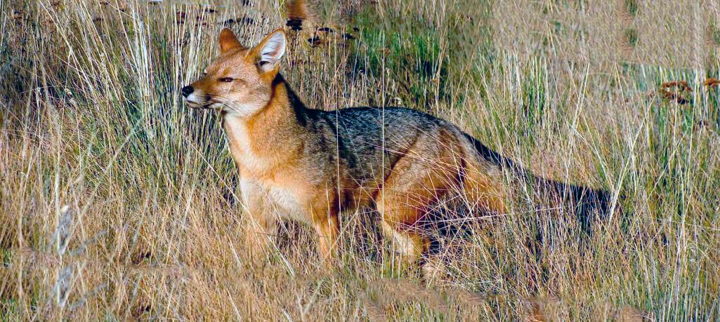 Охота андской лисицы