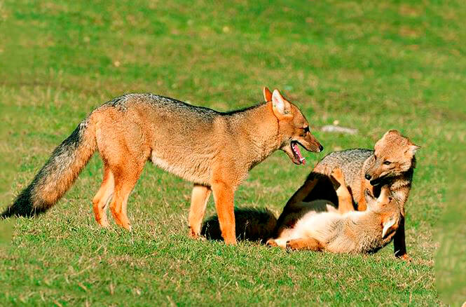 Семейство андской лисицы