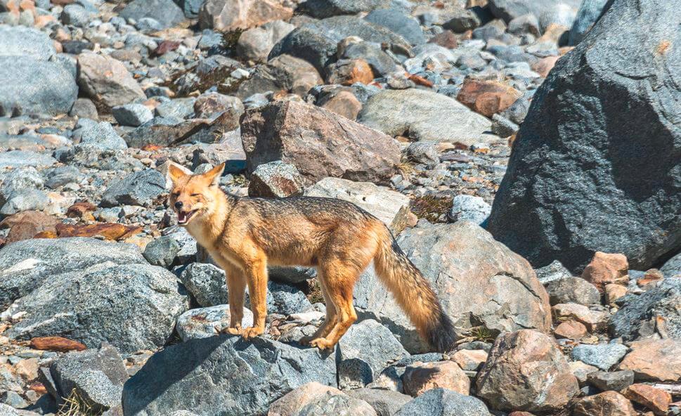 Внешний вид андской лисицы