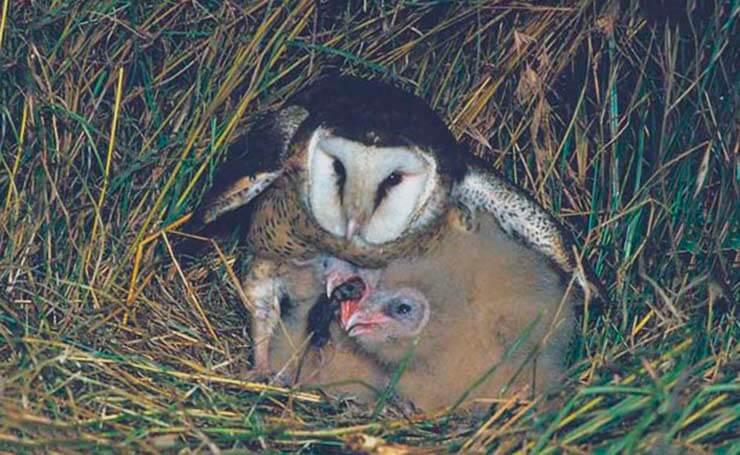 Капская сипуха согревает птенцов