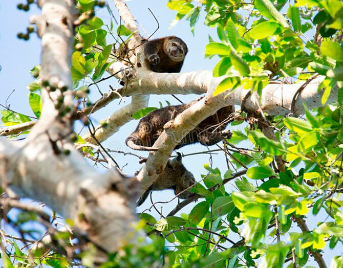 Сулавесский медвежий кускус в кроне дерева