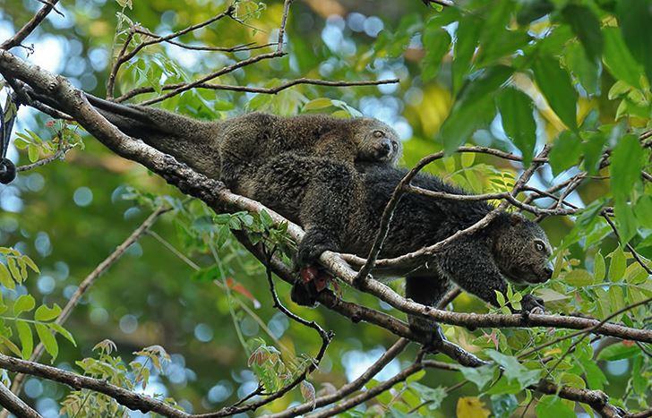 Пара медвежих кускусов на дереве фото