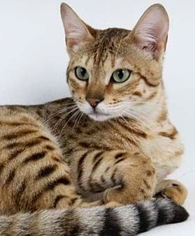 Kanaani 1 Канаани, или ханаанская кошка