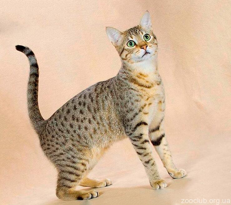 ханаанская кошка фото