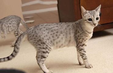 Канаани, или ханаанская кошка