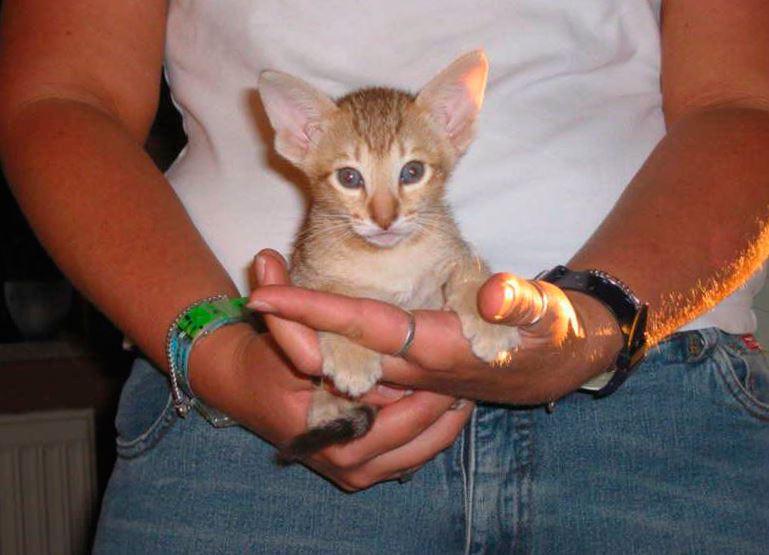 Kanaani na rukah Канаани, или ханаанская кошка