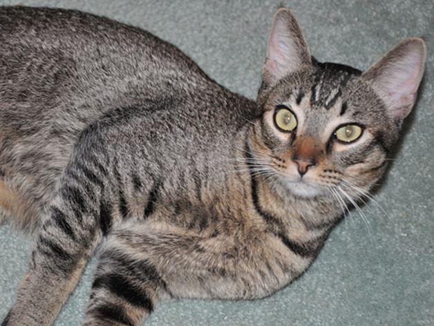 Kanaani noavya poroda Канаани, или ханаанская кошка
