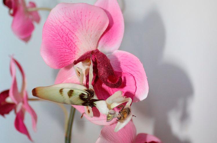 Богомол орхидейный фото