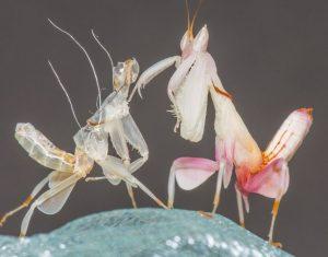 Размножение орхидейного богомола фото