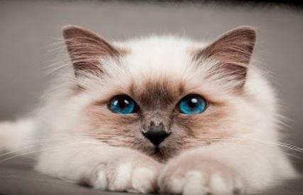 Фото голубоглазого сиамского кота