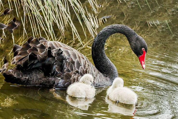 Фото лебедя чёрного