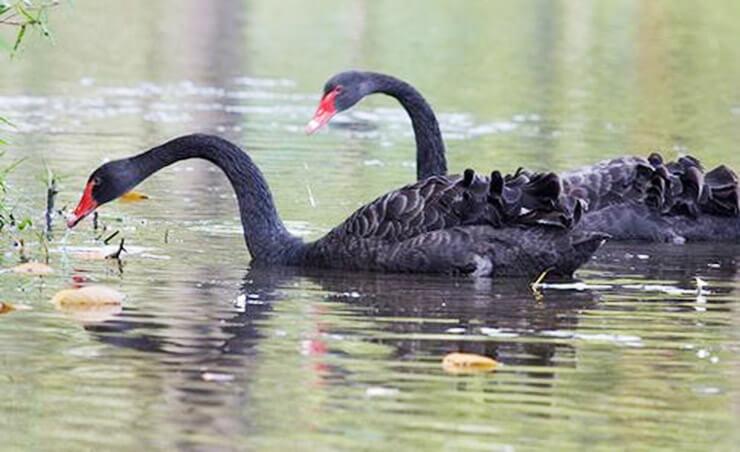 Картинка с черными лебедями