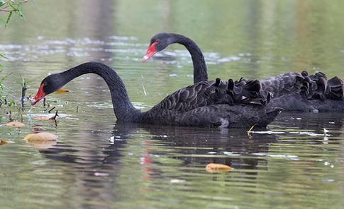 Пара чёрных лебедей