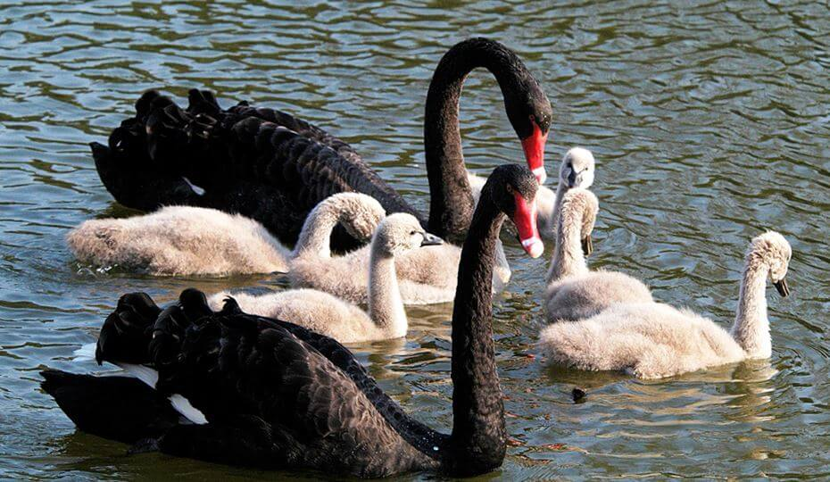 Фото птенцов чёрных лебедей