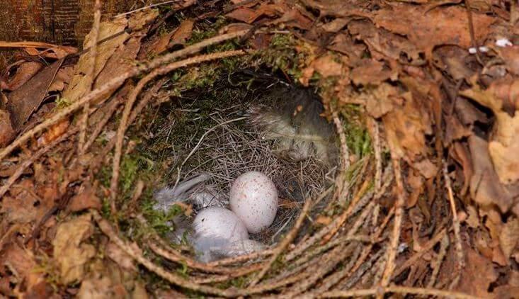 Фото гнезда крапивника с яцами