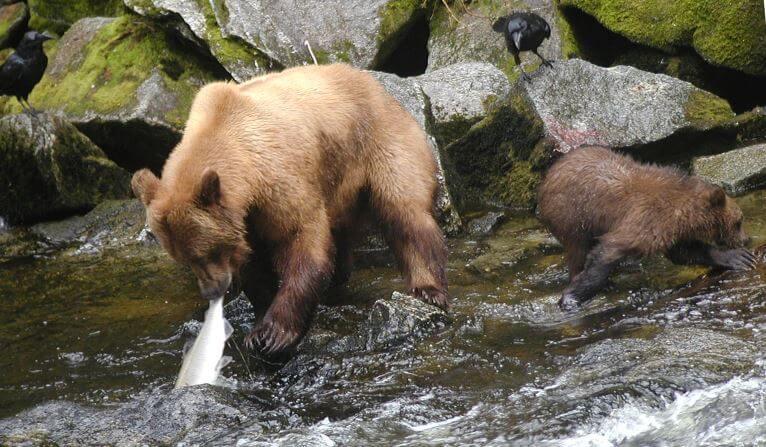 kamchatskiy buryy medved lovit rybu Камчатский бурый медведь
