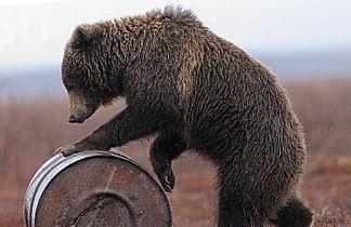 Камчатський бурий ведмідь