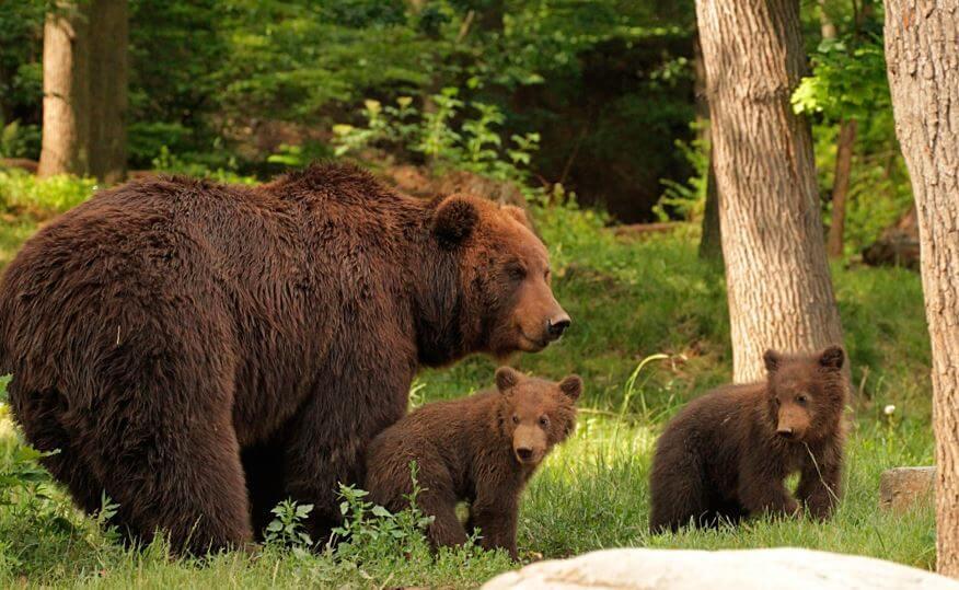 Семейство камчатских медведей фото