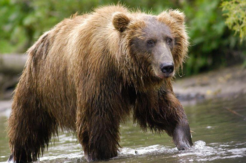 kamchatskiy buryy medved v reke Камчатский бурый медведь