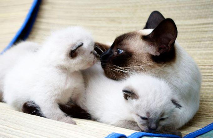 Фото сиамской кошки с котятами
