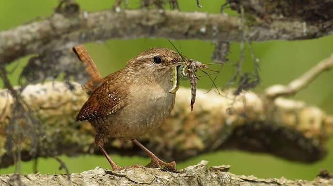 Фото крапивника с насекомым