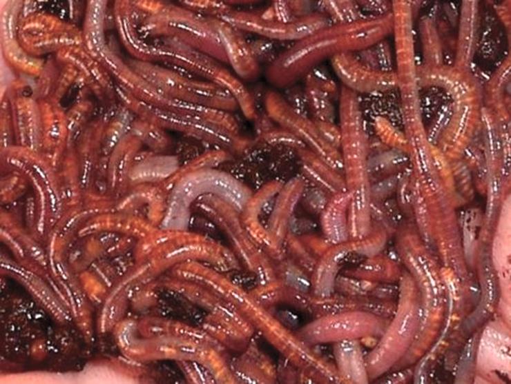 Картинка с калифорнийским красным червём