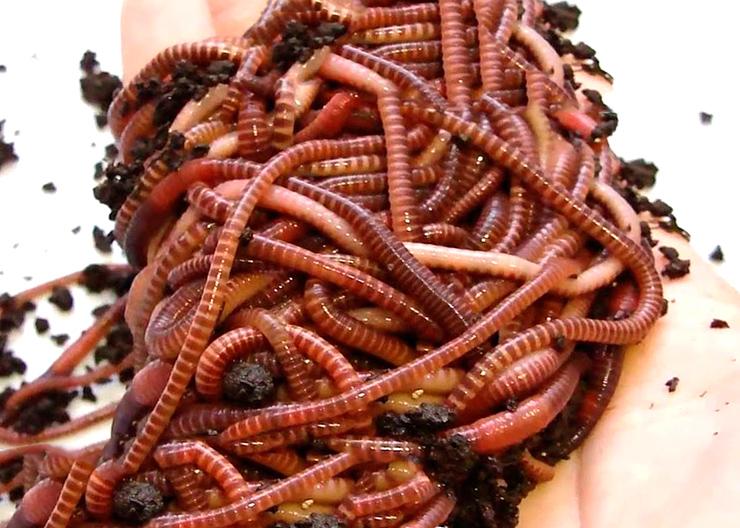 Красный калифорнийский червь фото