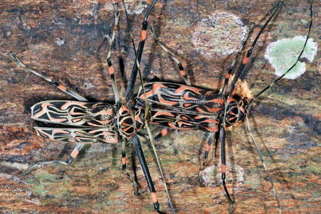Фото пары жуков арлекинов