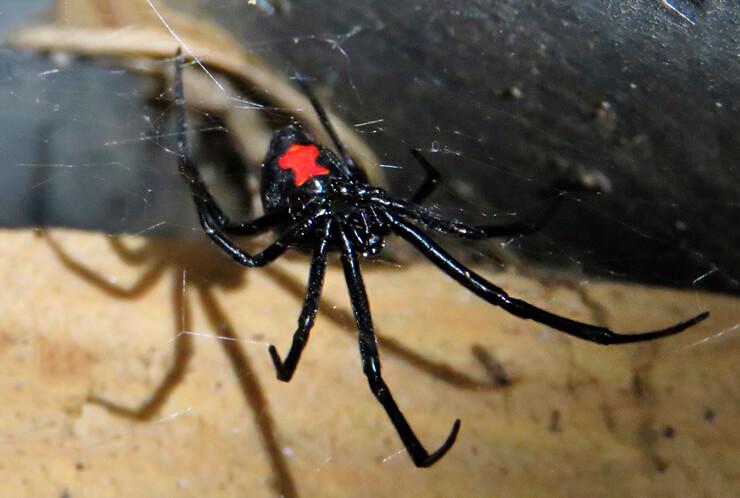 Фото Latrodectus mactans