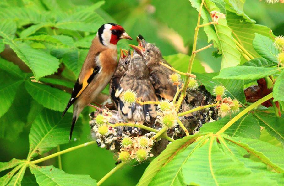 Щегол обыкновенный кормит птенцов
